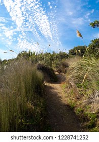 Walking a trail with pampas grass on a sunny day in Baylys Beach, New Zealand