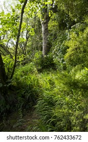 A walking trail through native bush with no people visible, in Whakarewarewa forest / The Redwoods park, Rotorua, New Zealand. Photographed in late summer.