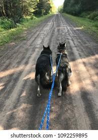 Walking two huskies on skijoring harness