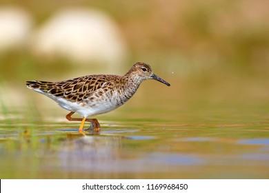 Walking water bird. Common water bird:   Ruff. Philomachus pugnax. Colorful nature background.