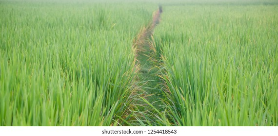 A walking way between paddy field isolated blurry photo
