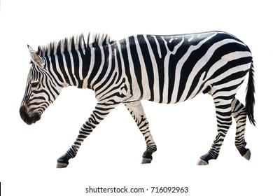 walking zebra isolated on white background