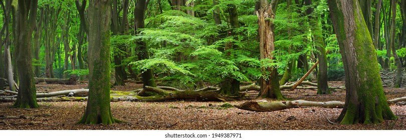 Walkway in a green spring forest. Veluwe national park, the Netherlands. Panoramic scenery. Mighty deciduous beech trees, tree logs, carpet of golden leaves. Nature, seasons, ecology, ecotourism