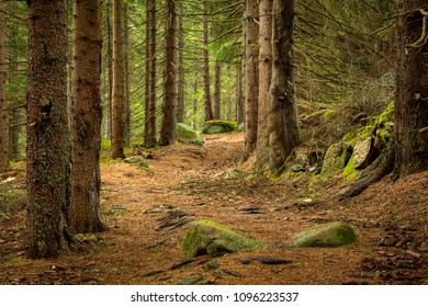 Walkway Lane Path in Natural Forest of Spruce Trees in Sumava, Czech Republic