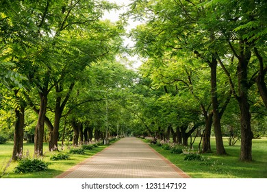 Walkway Lane Path With Through Juglans Mandshurica, The Manchurian Walnut Trees In Garden. Beautiful Alley, Road In Park. Pathway, Way In  Deciduous Trees.