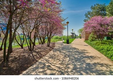 Walkway with Redbud Trees