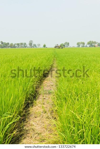 Walkway in rice field