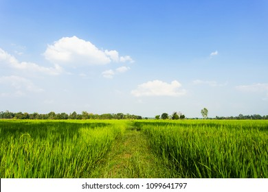 Walkway of rice field green grass and blue sky. Rice green farmer's farm. Scenic view of the landscape paddy field at thailand