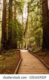 Walkway through the Muir Woods rows of giant Sequoia, redwood trees