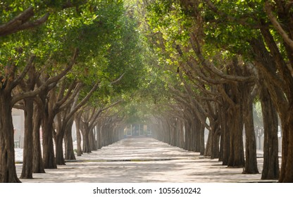 Walkway with trees in symmetry on both sides