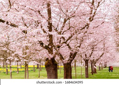 Walkway under the flowering Sakura Trees. Cherry blossoming alley in park, Germany, selective focus