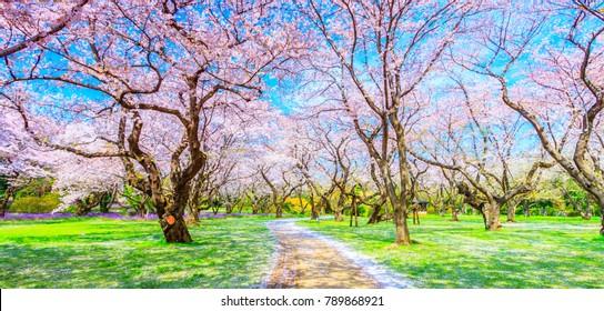Walkway under the Sakura Tree beautiful in Japan