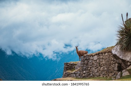 Wall of the ancient Peruvian city of Machu Picchu. Work of the Inca and Quechua Indians. The lama stands on the wall in the rock. Latin America. Attractions and antiquities