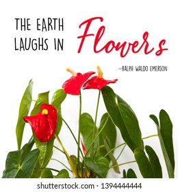 """A wall art print of an Anthurium Andraeanum or Tail Flower with large glossy leaves and red flowers, with an inspirational quote: """"The earth laughs in flowers"""" by Ralph Waldo Emerson."""