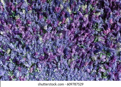 A wall of beautiful purple flowers. Lilac, can be used as background, texture, press-wall,  valentines day.