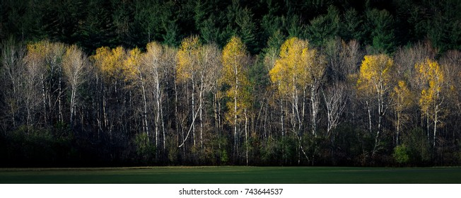 Wall of birch trees showing last color of autumn