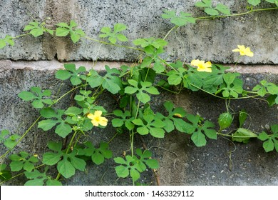 A wall with a bitter baby bitter melon plant on it