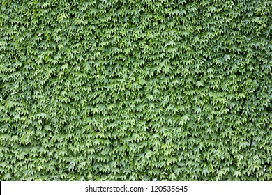 The wall brick covered by green leaves.