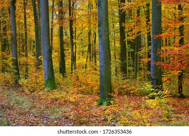 The wall of colorful beech trees, tree trunks close-up. Idyllic fairy autumn landscape. Green, red, orange and yellow leaves. Natural pattern. Environmental conservation theme. Heidelberg, Germany