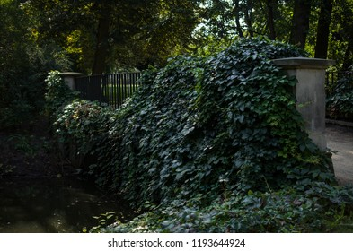 A wall of common ivy