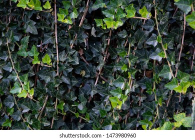 A wall of common ivy. Usable as a background or texture. Also known as european ivy, english ivy or ivy. (Hedera helix)