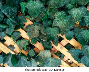 A wall of common ivy. Usuable as a background or texture. Also known as european ivy, english ivy or ivy.