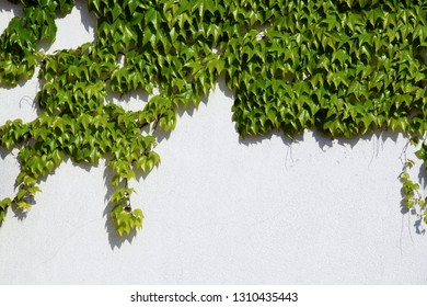 Wall covered by ivy with copy space area. Background.