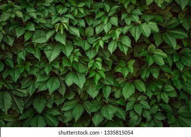 A wall covered with vine green leaves. Natural background from climbing plant. Vertical gardening