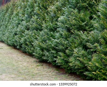 wall of decorative thuja swing in the wind