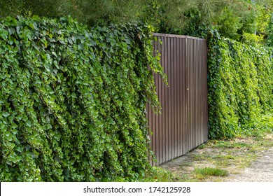 Wall of green ivy. Hedera spiral. Original texture of natural greenery. Decoration of fence with ordinary ivy. Background from elegant leaves. Nature concept for design