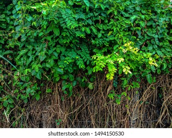 Wall with Green leaf and ivy for background