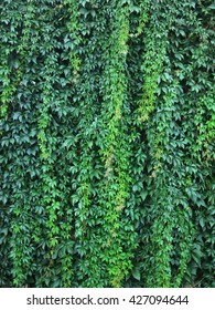Wall with green leaves of a climbing plant. Wendland, Germany, Europe