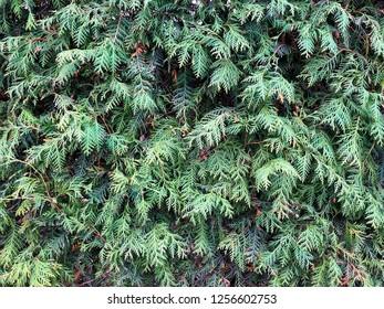 Wall of green microbiota decussata