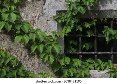 wall with grenn ivy and barred window