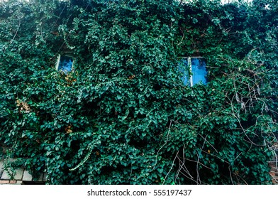a wall of a house full of ivy with two windows