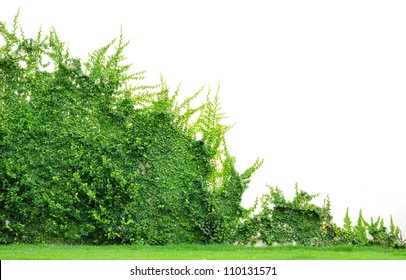 Wall of Ivy