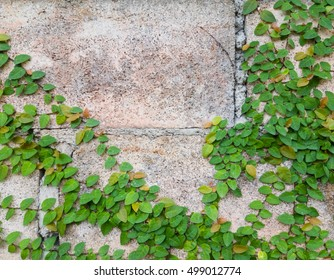 Wall with ivy Abstract background.