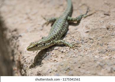 Wall lizard (Podarcis muralis) in his natural environment on the island of Samothrace, Greece