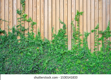 The wall is made wood. There are creepers on the left wall. This wall is popular in English style. Also known as a vintage style. as background with copy space.