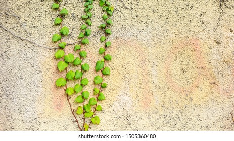 Wall Texture with Green Ivy Plant