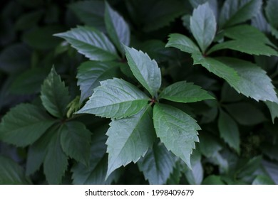 Wall of wild grape leaves. Leaf texture. Element of design. Soft warm natural background. Leaves Of Creeper Plant. Colorful foliage in the park. Image with selective focus.