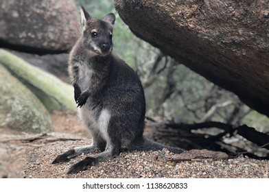 Wallabies is one of the Australian animal. It's look like a Kangroo, but little bit smaller their sizes.