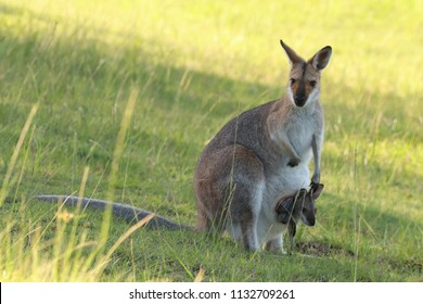Wallaby with a big baby in her pouch