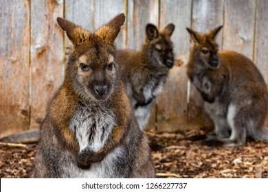 Wallaby Closeup with Two Wallabies in the Background in front of a Fence