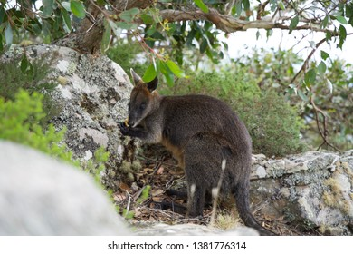 Wallaby eating in Grampians National Park in Victoria, Australia
