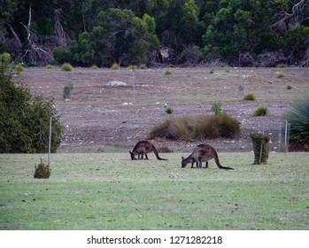wallaby eating plants , wallabies animal