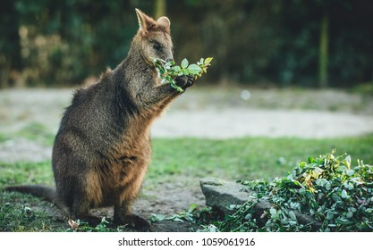 A wallaby eating some leaves.