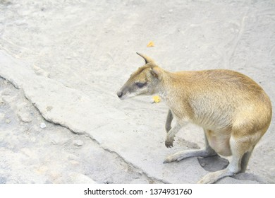 Wallaby is endemic animal from Papua (Indonesia) and Papua New Guinea. Wallabies look like kangaroos but are smaller.