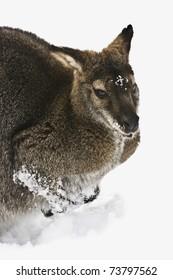 Wallaby im Schnee
