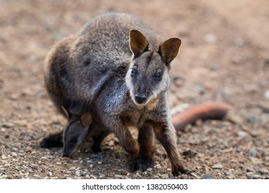 Wallaby with Joey in Australia